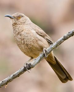 Curve-billed/Bendire's Thrasher