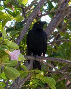 Micronesian Starling