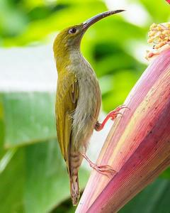 Gray-breasted Spiderhunter