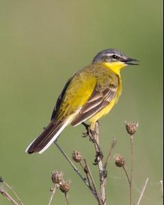 Western Yellow Wagtail (flava/beema)