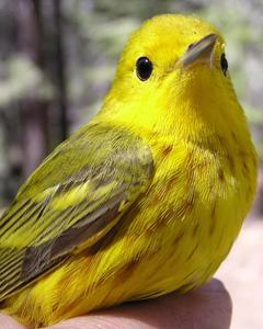 Yellow Warbler (Northern)