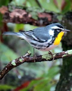 Yellow-throated Warbler (albilora)