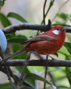 Red Warbler