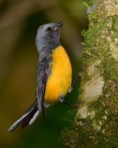 Slate-throated Redstart