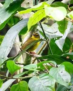 Golden-bellied Warbler (Choco)