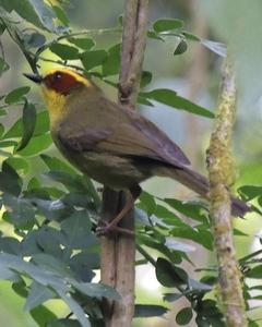 Golden-browed Warbler