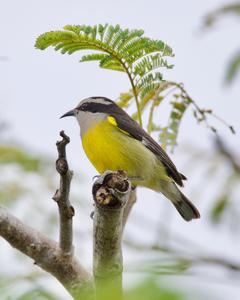 Bananaquit (Cozumel I.)