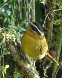 Black-capped Hemispingus