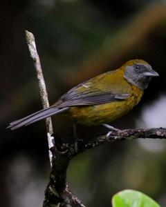 Olive-backed Tanager