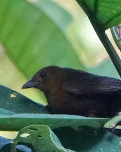 Tawny-crested Tanager