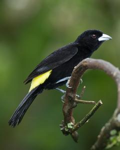 Flame-rumped Tanager (Lemon-rumped)