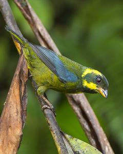 Gold-ringed Tanager