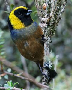 Golden-collared Tanager