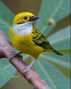 Silver-throated Tanager