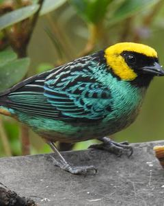 Saffron-crowned Tanager