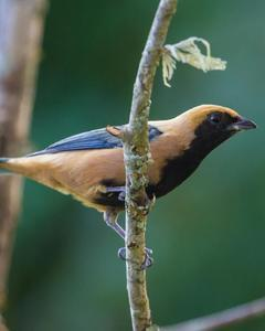 Burnished-buff Tanager