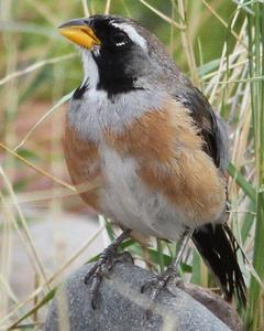Many-colored Chaco Finch