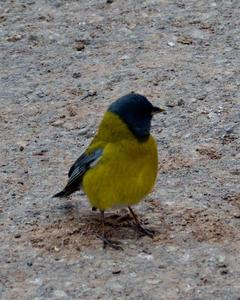 Gray-hooded Sierra-Finch