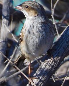 Mourning Sierra-Finch
