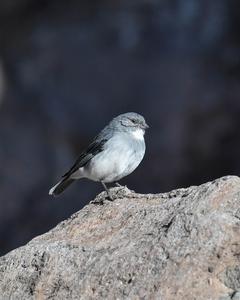 White-throated Sierra-Finch