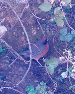 Rufous-breasted Warbling-Finch