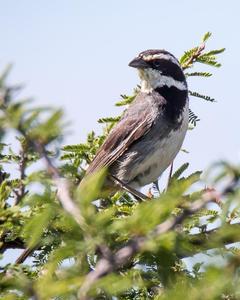 Ringed Warbling-Finch