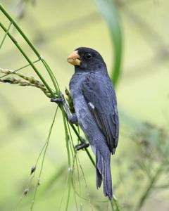 Gray Seedeater