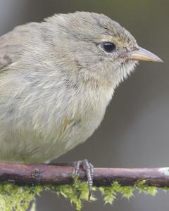 Gray Warbler-Finch