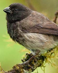 Small Tree-Finch