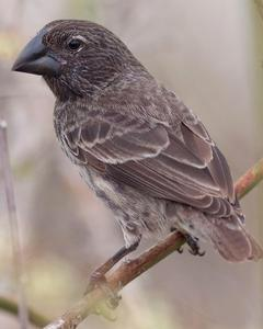 Large Ground-Finch