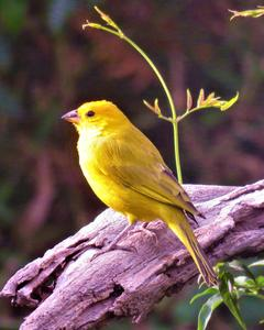 Saffron Finch (Saffron)