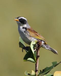 Black-masked Finch