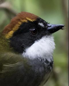 Chestnut-capped Brushfinch
