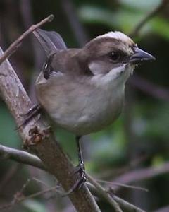 Pale-headed Brushfinch
