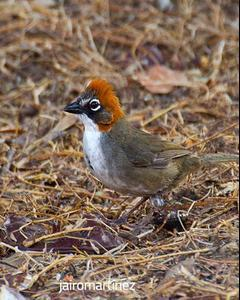 Rusty-crowned Ground-Sparrow