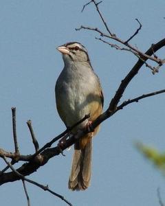 Cinnamon-tailed Sparrow
