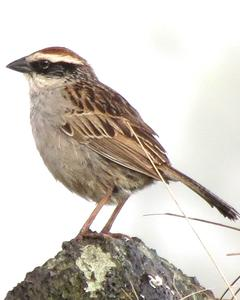 Striped Sparrow