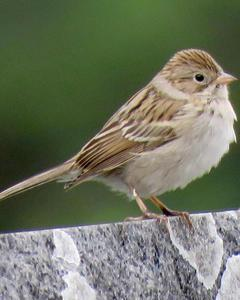 Brewer's Sparrow (Timberline)