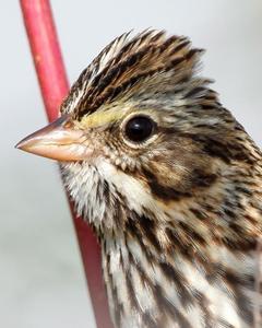 Savannah Sparrow (Eastern)