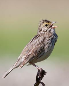 Savannah Sparrow (Western)