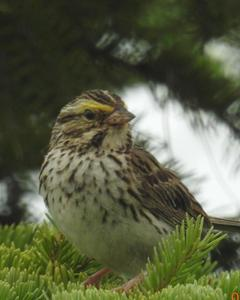 Savannah Sparrow (Western)