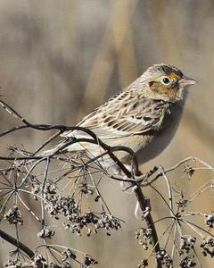 Grasshopper Sparrow (Western)