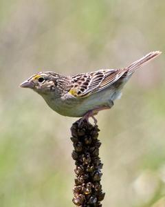 Grasshopper Sparrow (Eastern)