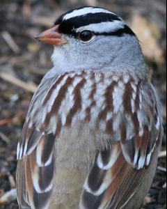 White-crowned Sparrow (Dark-lored)