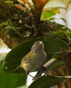 Dusky Chlorospingus