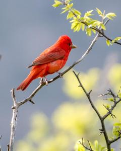 Summer Tanager (Western)
