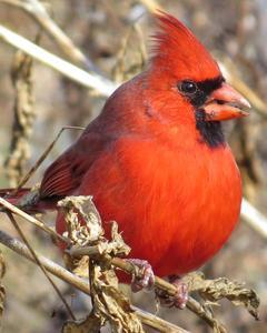 Northern Cardinal (Common)