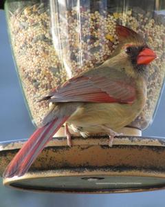 Northern Cardinal (Common)