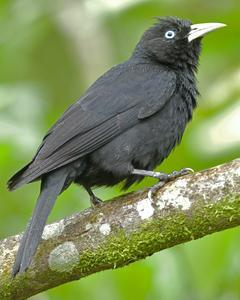 Yellow-billed Cacique