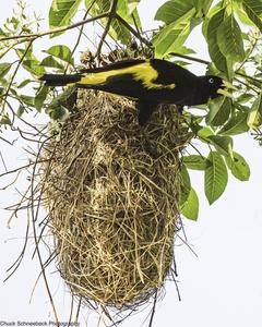 Yellow-rumped Cacique (Amazonian)